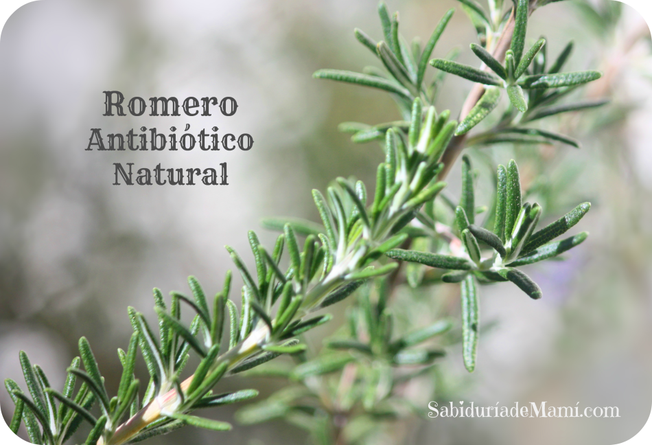 Romero Antibiotico Natural